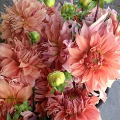 Dahlia Sierra Glow – mid July through mid Oct