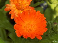 Ringelblume, Blüte ungefüllt