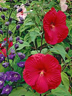 You can't beat the big, bold flowers of this Hibiscus. More of the best plants for your garden: http://www.bhg.com/gardening/landscaping-projects/water-gardens/best-plants-for-your-water-garden/?socsrc=bhgpin082113redhibiscus=10