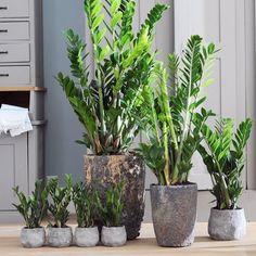 facile d 39 entretien le chlorophytum comosum est une plante. Black Bedroom Furniture Sets. Home Design Ideas