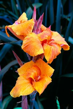 ~~ The vivid hot flowers of canna 'tropicana' beautiful color, I grow some of these in my backyard, ~~