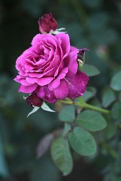 Floribunda Rose: Rosa 'Vaguelette.'