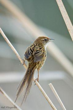 North Island Fernbird, New Zealand Sea Birds, Wild Birds, Beautiful Birds, Animals Beautiful, Extinct Birds, Birds Online, Bird Artwork, Bird Drawings, Reptiles And Amphibians