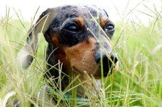 mini dachshund - wiener - CUTE