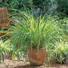 Lemon Grass for Mosquitoes - Thai lemongrass contains citronella oil, the strong scent of which makes it hard for mosquitoes to find you. At the same time, lemongrass is a beautiful mounding perennial. Container Gardening, Gardening Tips, Citronella Oil, Natural Mosquito Repellant, Grass Seed, Plants Online, Plantar, Ornamental Grasses, Plantation