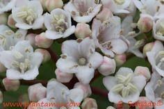 Viburnum tinus.