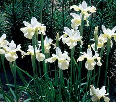 Iris sibirica Butter and Sugar - White Flower Farm Quick Facts Common Name: Siberian Iris Hardiness Zone: S / W Height: Deer Resistant: Yes Exposure: Full or Part Sun Blooms In: June Spacing: Ships as: Bareroot Read our Growing Guide White Flower Farm, Black Flowers, Iris Garden, Moon Garden, Easy Garden, Summer Garden, Garden Tips, Garden Ideas, Cottage Garden Plants