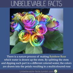 I love flowers on pinterest rainbow roses water lilies for How much are rainbow roses