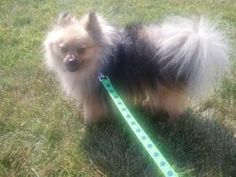 Carter is an adopted Pomeranian Dog in Troy, MO. Carter is a gorgeous rare colored cream wolf sable Pomeranian who is looking for his forever family. He is current on his vaccinations and neutered. He...