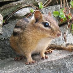 Tamia rayé -- Eastern chipmunk by Gilles Gonthier, via Flickr