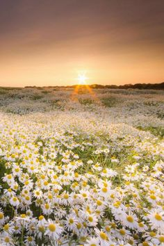Daisies Field at sunset... wow, to see this. I wonder where this is? Just wonderful...
