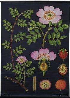 A Dog Rose Botanical Poster from a series of German Scientific Charts still produced by the original printer. Impressive science decor with vintage classroom style! Botanical Drawings, Botanical Prints, Botanical Posters, Botanical Decor, Illustrations, Illustration Art, Flora Und Fauna, Rose Wall, Chart Design