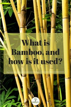 Bamboo is regarded as an aggressive, invasive species because it is the fastest-growing grass species on earth. Bamboo can overrun natural vegetation quickly and is very difficult to get rid of once it has taken root. You can use it for support structures for climbing plants, a food source, and even scaffolding. // decorative garden // garden stuff // sustainibility // flower garden // garden shed ideas #gardening flowers #garden home #gardning Growing Grass, Growing Tree, Vegetable Garden Soil, Phyllostachys Nigra, Grass Species, Golden Bamboo, Lucky Bamboo Plants, Bamboo Stalks, Organic Soil