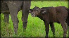 A mild faces baby buffalo,Live from the Mara with @BrentLeoSmith and Eggsy! Sunset drive 5-6-17 #safarilive