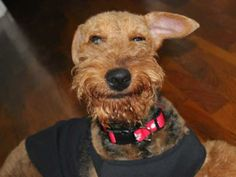 See more in our Smiling Dogs Gallery. This week: Harpy, Lancelot, Moose, Scout and Tsavo. Welsh Terrier, Airedale Terrier, Funny Animals, Funny Pets, Man And Dog, Smiling Dogs, Christmas Dog, Cocker Spaniel, Little Dogs