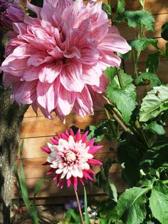 "My first attempt at growing Dhalias!  The giant Dhalia is absolutely massive!  The small one is 6"" across."