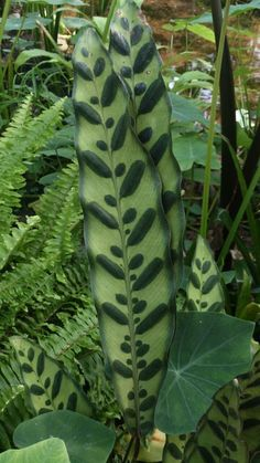 paeoniia: I thought this plant was beautiful, it looks like someone painted the leaves Unusual Plants, Rare Plants, Exotic Plants, Cool Plants, Tropical Garden, Tropical Plants, Large Flower Pots, Calathea, Different Plants