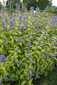 Buy bluebeard Caryopteris × clandonensis 'Hint of Gold = 'Lisaura' (PBR)': Delivery by Crocus