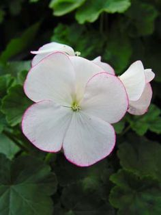 Geranium 'Tatoo' Pelargonium. --Ah, I love them almost as much as roses. But they don't love me.