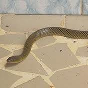 Cobra Lisa