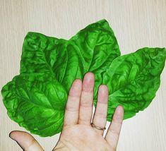 Giant Basil  Giant Organic Basil Greek Heirloom Rare Variety