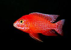 "Aulonocara ""Fire Fish"" ."