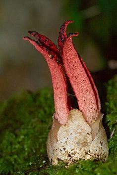 Octopus Stinkhorn(学名Clathrus archeri)というスッポンタケ科のキノコで、、日本ではタコスッポンダケと呼ばれている