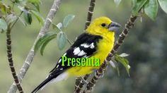 HUIRACCHURO, Pheucticus Chrysogaster, ave en extinción