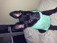 German Shepard mix puppy adorable!