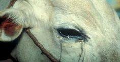 रास्ते में रोती हुई गाय को देखने से हो सकती है ये अनहोनी   Punjab Kesari