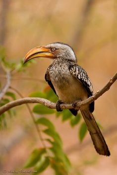 'Banana Bill' ~ Southern Yellow-Billed Hornbill, Kruger National Park, Limpopo, South Africa