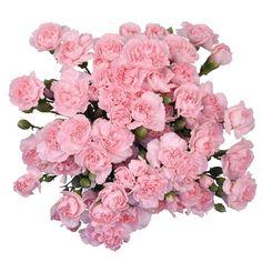 5595431823084 Mini Carnations - Pink - 100 Stems - Sam s Club Mini Carnations