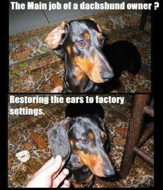 funny dachsund restoring ears to factory settings