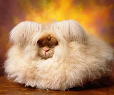 Welcome To The Incredibly Fluffy World Of Angora Rabbits