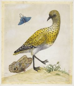 Golden Plover (?), with examples of two butterflies, one a small blue, from an album entitled 'Merian's Drawings of Surinam Insects c' Watercolour, touched with bodycolour, and with pen and grey ink, on vellum. Drawn by: Maria Sibylla Merian. School/styleGerman. Date1701-1705 (circa).