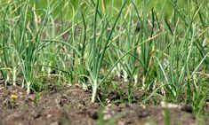 Nem vitás, a fokhagyma az egyik leghasznosabb társnövény. Garlic Bulb, Organic Matter, Summer Recipes, Free Food, Fields, Harvest, October, Herbs, Flowers