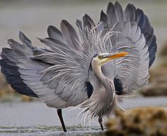 Great Blue Heron, threat display.