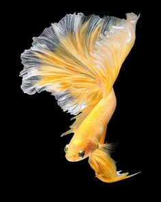 Amazing Golden Betta with Longtail. Beautiful Tropical Fish, Beautiful Fish, Animals Beautiful, Beautiful Sea Creatures, Beautiful Pictures, Underwater Creatures, Ocean Creatures, Poisson Combatant, Betta Fish Types