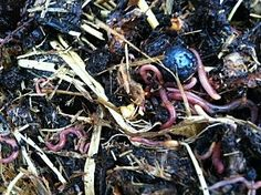 "Three years ago, if someone had mentioned they purchasing some worms, I would have grabbed my pole and said ""let's go fishing"".  Then, as I became interested in organic gardening, I started reading about worm bins and worm compost.  The technical term is ""vermicomposting"" which is the process of composting using worms."