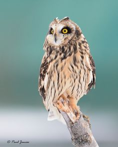 Short Eared Owl - null