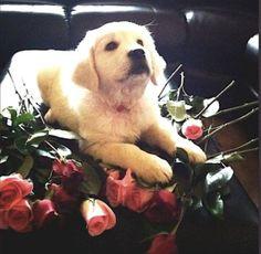 White English Cream Creme Golden Retriever Puppy Valentine's Day Roses I Love You.