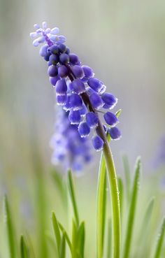 Untitled by Mandy Disher...muscari
