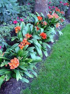 Las simpáticas flores de la clivia | Flores y Jardín                                                                                                                                                                                 Más