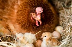 Don't count your chicken? Read why. Link : http://www.sufi-stories.com/dont-count-your-chickens