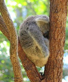 Koala asleep in a tree. He might wake up with a kink in his neck!