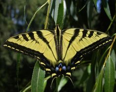 Western Tiger Swallowtail - Insecta Reference Library - redOrbit