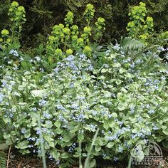Jack Frost Brunnera - An award-winning perennial for shade with bright blue Forget-me-not flowers Shade Perennials, Shade Plants, Shade Garden, Garden Plants, Deer Resistant Plants, Dogwood Trees, Light Blue Flowers, Ground Cover Plants, Woodland Garden