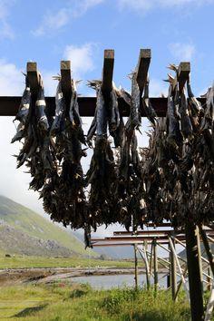 Cod drying on racks in the Lofoten Islands, Norway 🇳🇴 Lofoten Islands Norway, Finland, Cod, Home Decor, Decoration Home, Room Decor, Cod Fish, Atlantic Cod, Home Interior Design