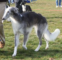 Silken Windhound male named Djinn. Beautiful Dogs, Animals Beautiful, Silken Windhound, Animals And Pets, Cute Animals, Unique Dog Breeds, Sphinx, Cute Dogs And Puppies, Doggies