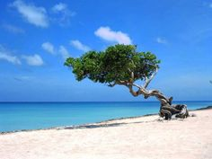Wind blown Dividivi tree on Bonaire, and lets not forget to mention the stunning white beach and turquoise sea.
